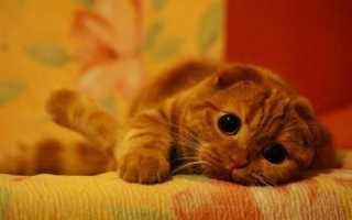 Как назвать кошек и котов шотландской вислоухой породы: имена для котят-мальчиков и девочек