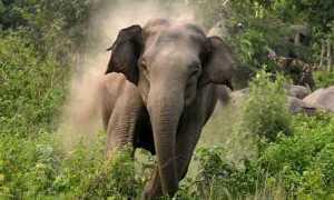 Американские учёные придумали средство от нападения диких слонов