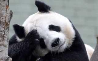 В Китае запретили фотографироваться с пандами и кормить их