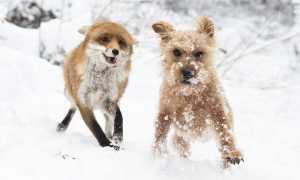 Бешенство собак – как они могут заразиться, инкубационный период и симптомы, вакцина