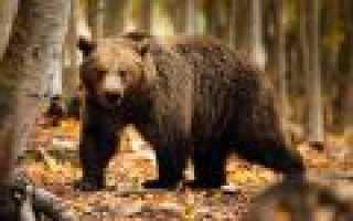 Медвежата залезли в автомобиль охранника