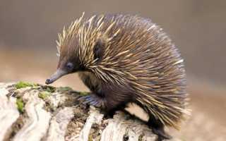 Ехидна: фото и подробное описание животного