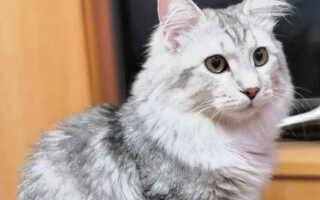 Бобтейл курильский (фото): русская короткохвостная кошка