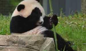 Заигрывание диких панд сняли на видео