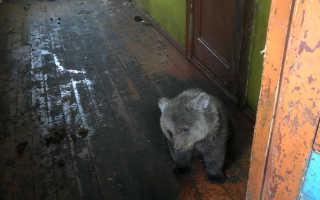 В Мурманской области из человеческого плена освободили медвежонка