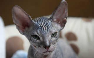 Лысые кошки: названия пород, описание, уход и фото
